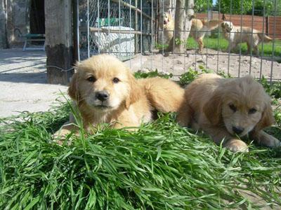 Allevamento cuccioli Golden Retriever