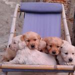 Cuccioli Retriever